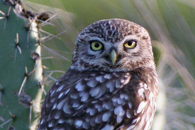 birds-little-owl